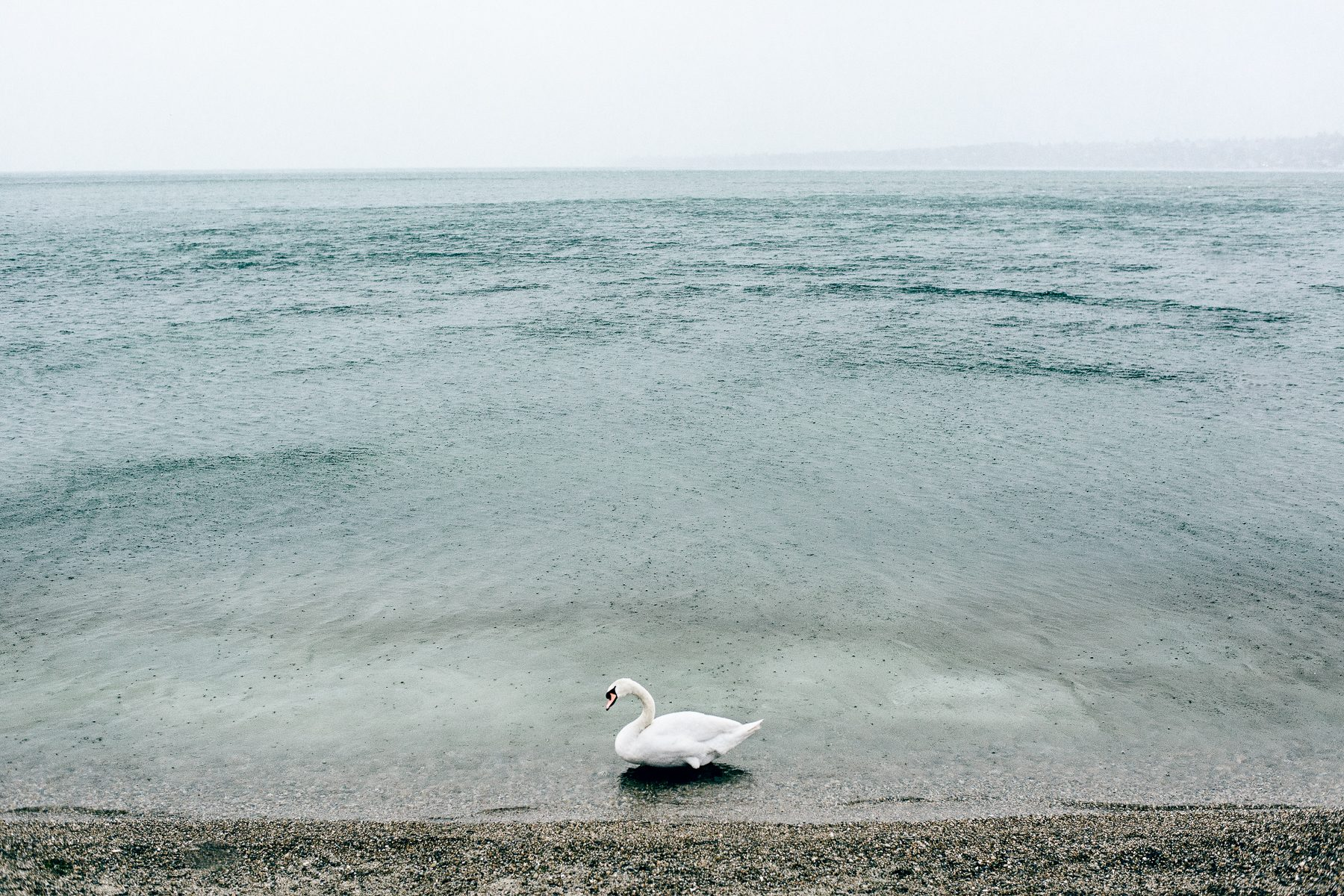 Swan under rain at les Bains des Paquis